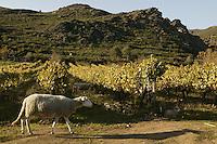 sheep grazing in vineyards near Ponte Nuovo, in northern Corsica<br /> <br /> photo: Owen Franken  11/03