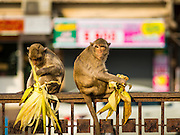 30 NOVEMBER 2014 - LOPBURI, LOPBURI, THAILAND:  Long Tailed Macaque monkeys eat a snack in Lopburi. Lopburi is the capital of Lopburi province and is about 180 kilometers from Bangkok. Lopburi is home to thousands of Long Tailed Macaque monkeys. A regular sized adult is 38 to 55cm long and its tail is typically 40 to 65cm. Male macaques weigh around 5 to 9 kilos, females weigh approximately 3 to 6 kg. The Monkey Buffet was started in the 1980s by a local business man who owned a hotel and wanted to attract visitors to the provincial town. The annual event draws thousands of tourists to the town.   PHOTO BY JACK KURTZ