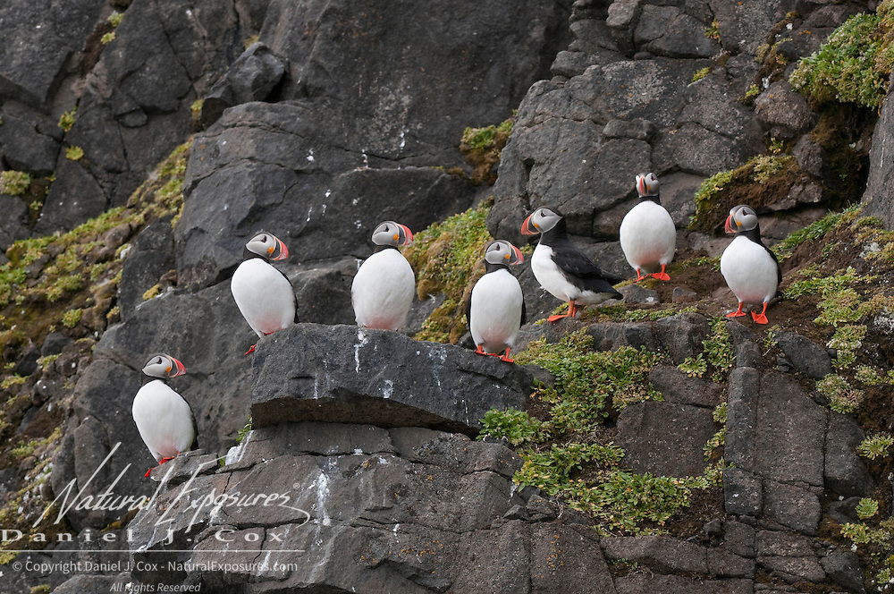 Atlantic Puffin colony on Wahlberg Island, Svalbard, Norway.