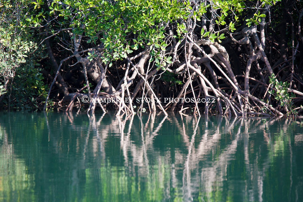 Tangled mangrove roots in Talbot Bay on the Kimberley coast.  The Kimberley has 17 of Western Australia's 27 species of mangroves.