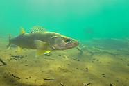 Walleye, Underwater