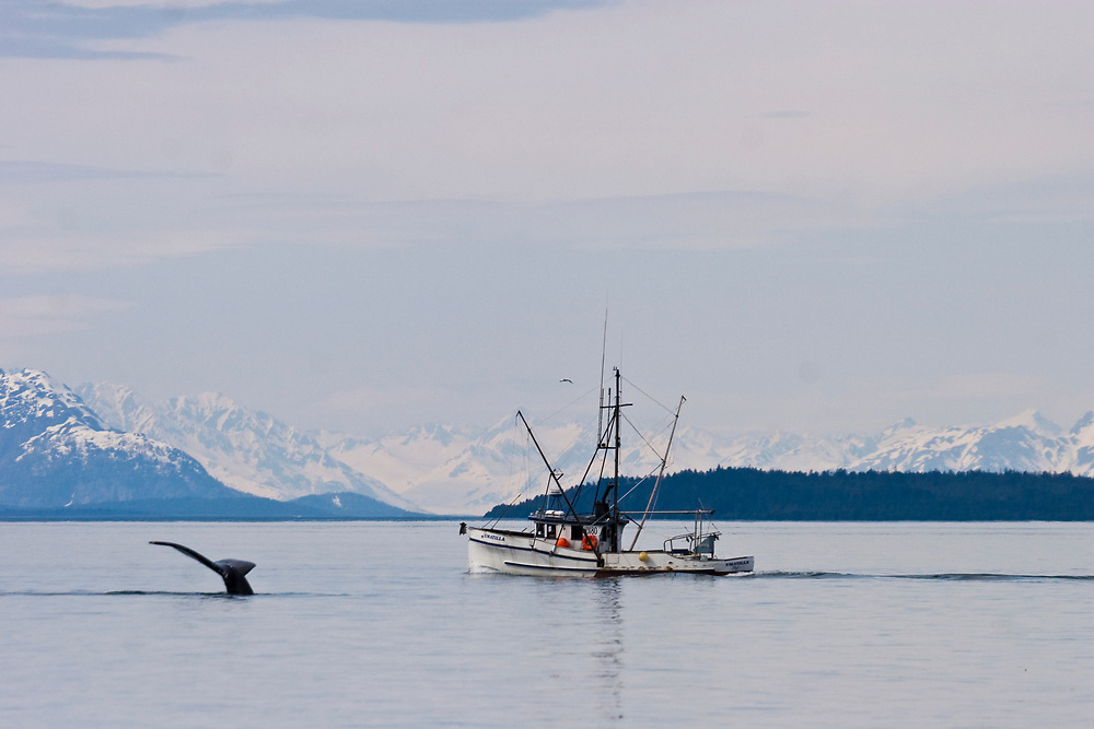 A humbpack whale (Megaptera novaeangliae) shows its tail before diving near a commercial fishing boat with the mountains of Glacier Bay National Park in the background.