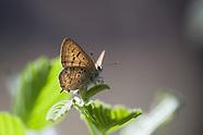 Lycaena a. arota - Tailed Copper