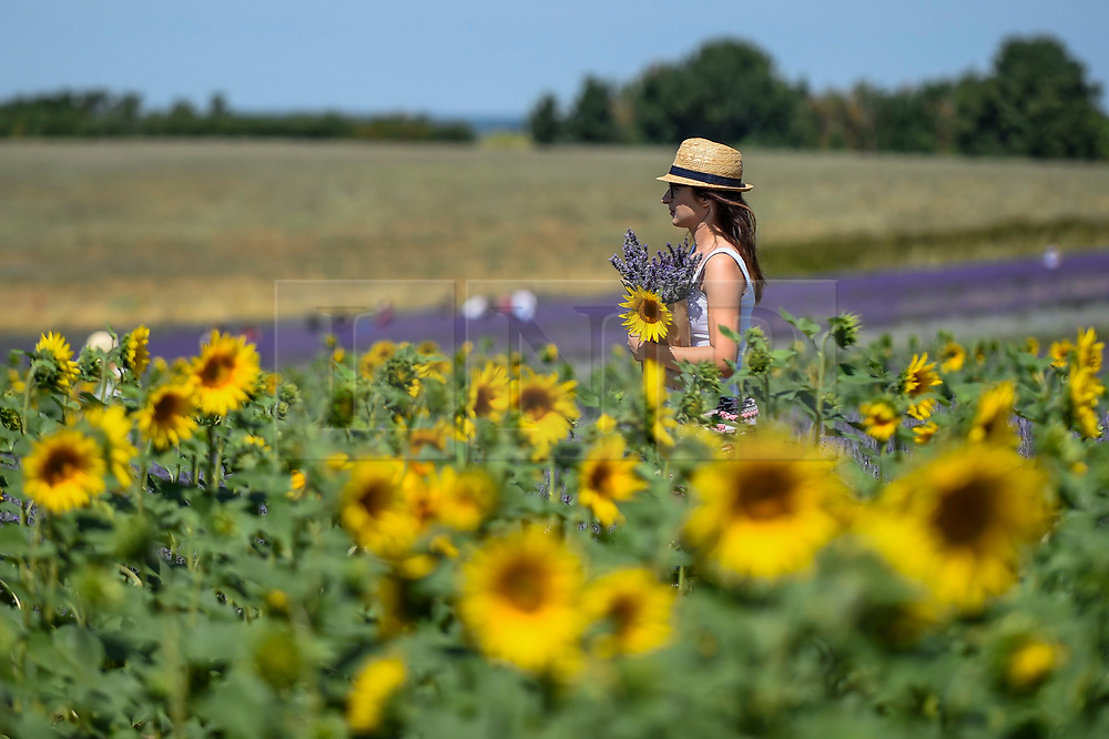 © Licensed to London News Pictures. 24/07/2018. ICKLEFORD, UK.  A woman visiting Hitchin Lavender farm walks amongst sunflowers during the continuing heatwave.  Currently in full bloom, the lavender and colourful sunflowers attract visitors from far and wide to this popular family run farm. Photo credit: Stephen Chung/LNP