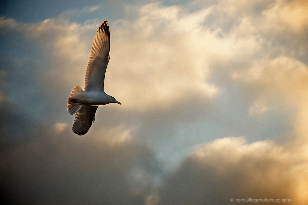 A seagull soaring among the clouds. A white seagull flying high in the Evening light against a backdrop of white fluffy clouds, witht the warm evening sunlight giving everything a Golden hue