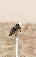 A Short Eared Owl sits on a construction stake at Bear River Bird Refuge in northern Utah.