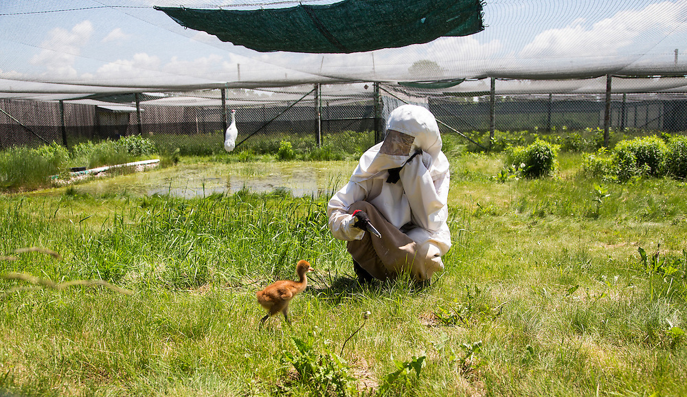 A costumed aviculturist takes a young Whooping Crane outside for the first time.  The endangered cranes are raised by humans in costume until there release into the wild.