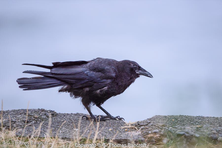 A juvenile American crow looks along the edge of Lake Washington.