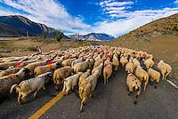 Herding sheep and goats, Nedong, Tibet (Xizang), China.