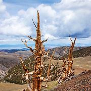 Ancient Bristlecone Pine Trees, White Mountains, California