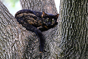 black and ginger domestic cat climbs a tree