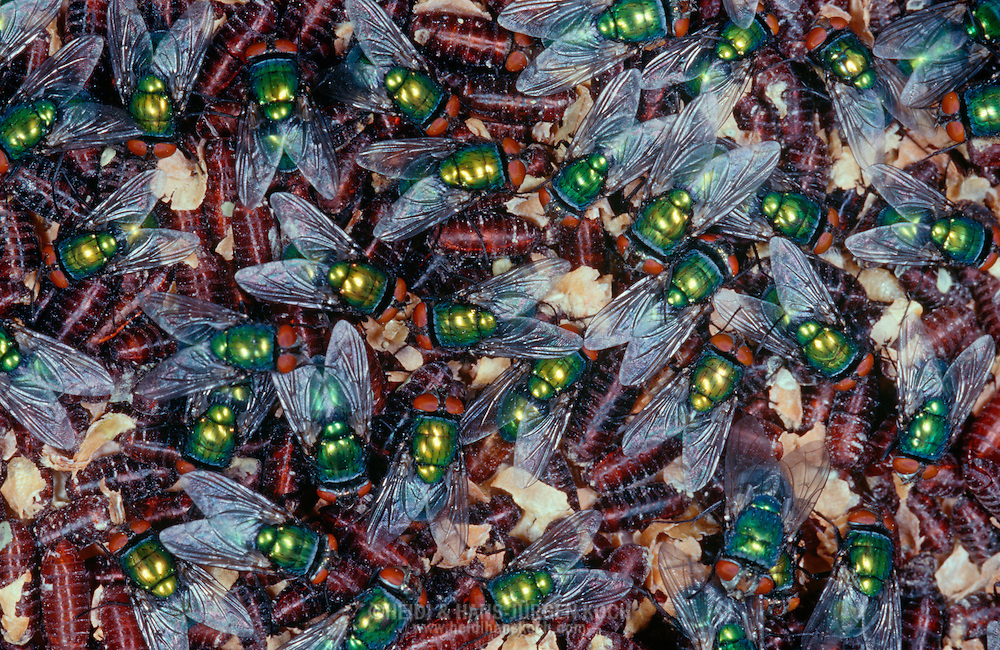 Deu, Deutschland: Fliege, Goldfliege (Lucilia caesar), frisch geschluepfte Goldfliegen sitzen auf Puppen, Cuxhaven, Niedersachsen | DEU, Germany: Greenbottle (Lucilia caesar), fresh hatched Greenbottles sitting on pupas, Cuxhaven, Lower Saxony |