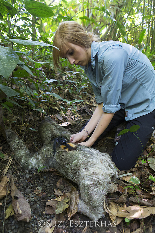 Brown-throated Three-toed Sloth <br /> Bradypus variegatus<br /> Rebecca Cliff, sloth biologist, fitting sloth with &quot;sloth backpack&quot;<br /> Aviarios Sloth Sanctuary, Costa Rica<br /> *Model release available
