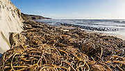 Winter storms piled a mass of bull kelp at Bowling Ball Beach, Schooner Gulch State Park, south of Point Arena, Mendocino County, California, USA. Kelps are large seaweeds in the class Phaeophyceae (brown algae) in the order Laminariales. The panorama was stitched from 2 overlapping photos.