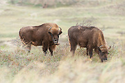Two European bison (Bison bonasus) standing and grazing in dune landscape