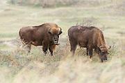 Two European bison (Bison bonasus) standing and grazing in dune landscape