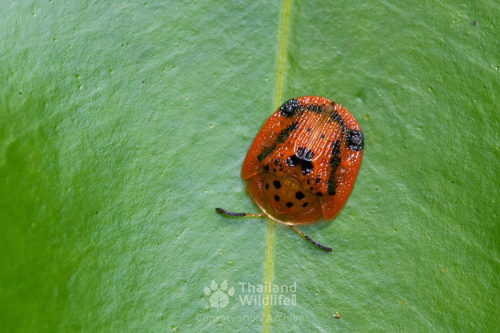 A tortoise shell beetle from the family of Chrysomelidae under genus of Aspidomorpha.