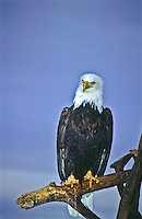 Bald Eagle (Haliaeetus leucocephalus) at Homer Spit, Alaska.
