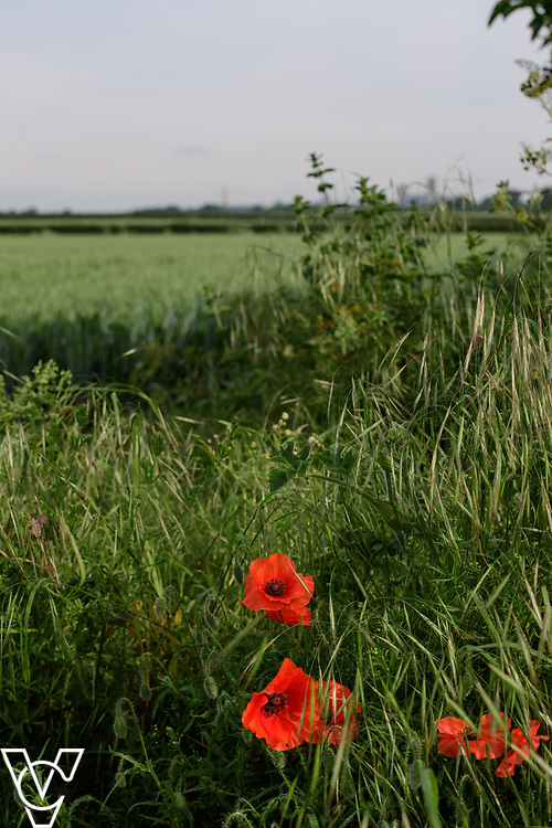 North Kesteven District Council (NKDC) - stock photography: Poppy flowers in a field off Canwick Avenue, Bracebridge Heath<br /> <br /> Picture: Chris Vaughan Photography<br /> Date: June 2, 2017