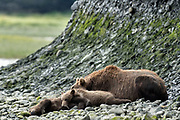 A grizzly bear sow rests alongside her sleeping spring cubs near the lower lagoon at the McNeil River State Game Sanctuary on the Kenai Peninsula, Alaska. The remote site is accessed only with a special permit and is the world's largest seasonal population of brown bears.