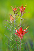 Indian Paintbrush growing on the South Rim of Grand Canyon National Park.