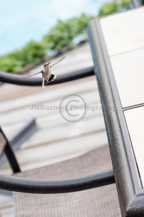 Female Ruby-throated hummingbird on patio deck