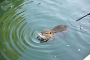 Israel, Jordan River, Yardenit Baptismal Site, Nutria, (Myocastor coypus) swims in the river