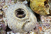 egg collar of murex shell; murex has withdrawn after laying eggs, Galapagos Islands, Ecuador, ( Eastern Pacific Ocean )