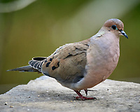 Mourning Dove. Image taken with a Nikon D5 camera and 600 mm f/4 VR lens (ISO 1400, 600 mm, f/5.6, 1/1250 sec)