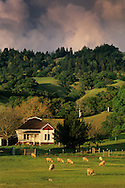 Sunset light through spring storm clouds over sheep in pasture, Anderson Valley, Mendocino County, California