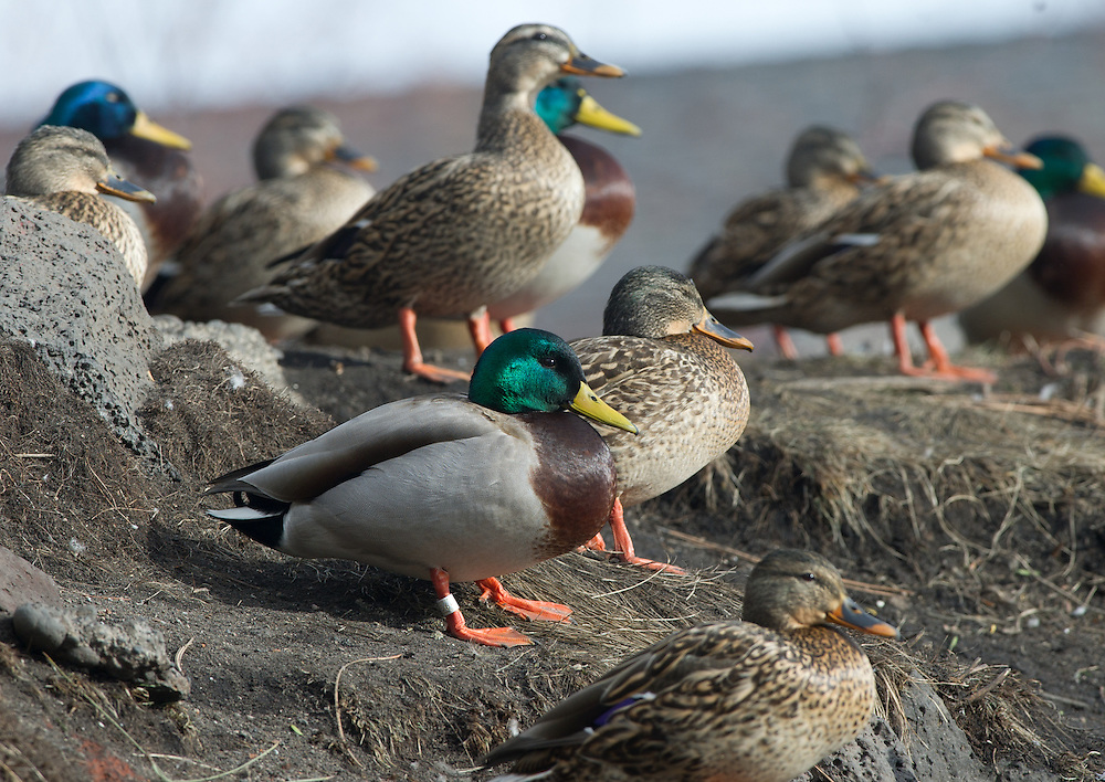 A banded drake mallard with other ducks.