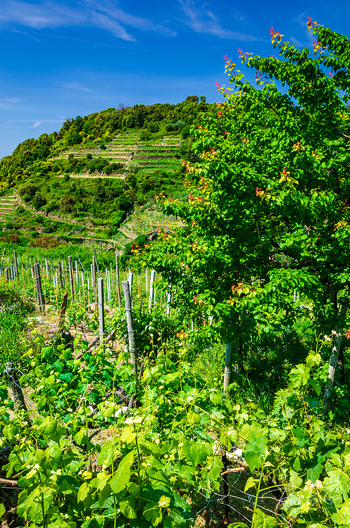Hillside vineyards in Corniglia, Cinque Terre, Liguria, Italy