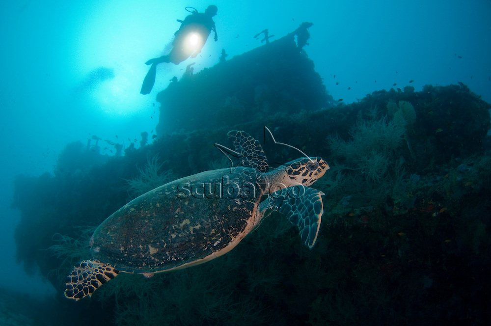 Hawksbill Turtle, Turtle, Eretmochelys imbricata, silhouette of diver in background, Machchafushi Wreck, South Ari Atoll, The Maldives