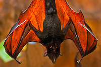 Giant Flying fox (bat), (Pteropus Vampyrus), Maharajah Jungle Trek, Disney's Animal Kingdom, Walt Disney World Resort, Orlando, Florida USA