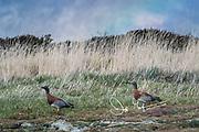 Ashy-headed geese walk under a rainbow in Ainsworth Bay, Tierra del Fuego, Chile.