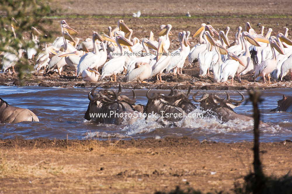 A herd of Blue Wildebeest (Connochaetes taurinus) in the water. Photographed in Serengeti, Tanzania
