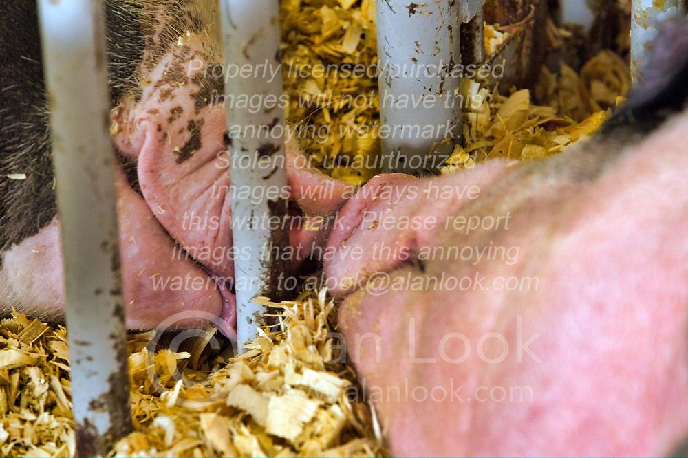 McLean County Fair - pigs - kissing through a grate