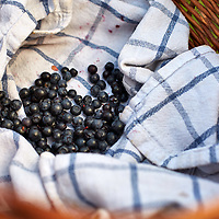 A photograph of wild bilberries in a woven basket foraged on Ilkley Moor, West Yorkshire, England.