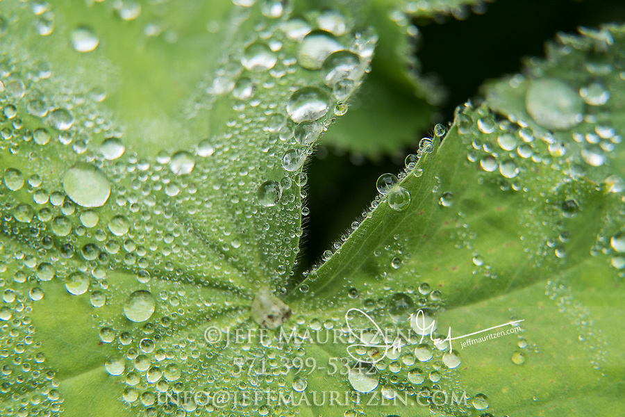 Morning dew drops bead up on a Lady's mantle plant.