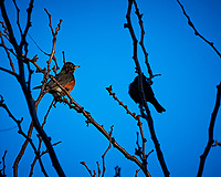 American Robin. Image taken with a Nikon D300 camera and 80-400 mm VR lens (ISO 200, 400 mm, f/8, 1/320 sec).