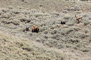 Gray wolves surround a cow bison which is trying to protect a newborn calf in Yellowstone National Park.