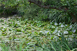 Yellow Water-Lily. Nuphar lutea