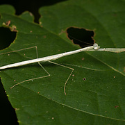 "Mantises are an order (Mantodea) of insects  The largest family is the Mantidae (""mantids"").  It is belived that this mantis is white because it will soon moult its exoskeleton."