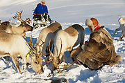 TROMSO, NORWAY - MARCH 28, 2011: Unidentified Saami men bring food to reindeers in deep snow winter in  Tromso region, Northern Norway.
