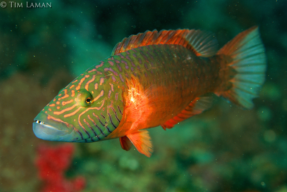 A barcheek wrasse patrolling his territory.