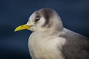Måke med glimt i øyet | Seagull with twinkle in the eye