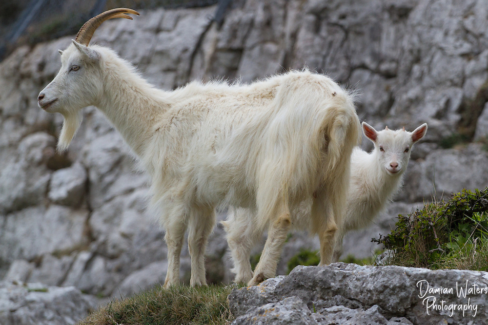 Female Wild Goat with kid, Great Orme, North Wales - April
