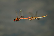 Common Darter Dragonflies - Sympetrum striolatum, in tandem.