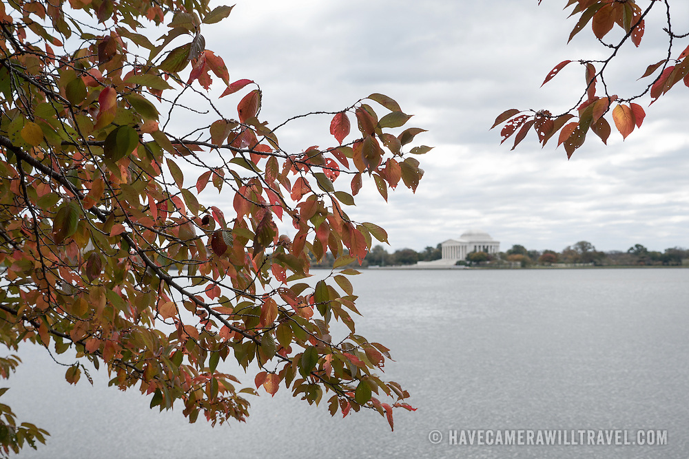 The famous cherry blossom trees around Washington DC's Tidal Basin lose their leaves in the autumn.