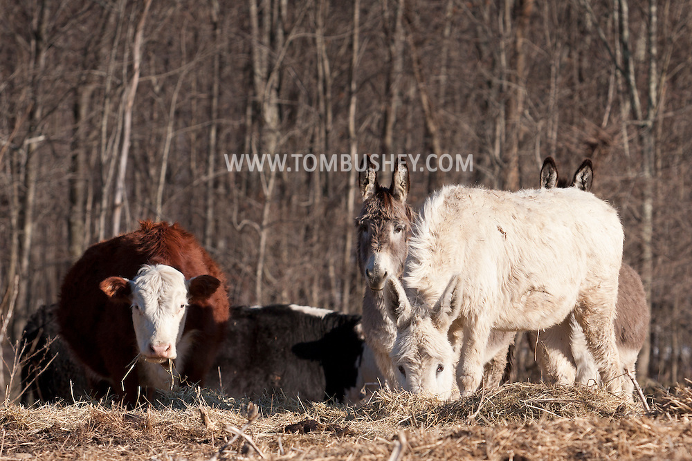 Middletown, New York - Animals in a field at Kirbytown Farms on  March 17, 2014.